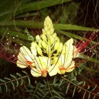 Paradiesvogelbusch