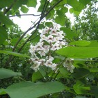 Catalpa erubescens `Purpurea´