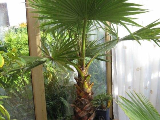 Washingtonia robusta im Wintergarten