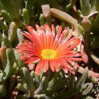 Kupferige Mittagsblume - Malephora crocea