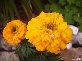 Studentenblume - Tagetes