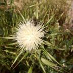 Weiße Artischocke - Cynara cornigera