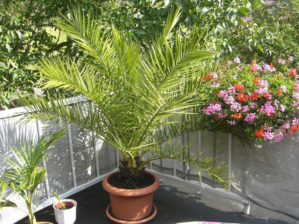 Phoenix Canariensis 15 Jahre alt