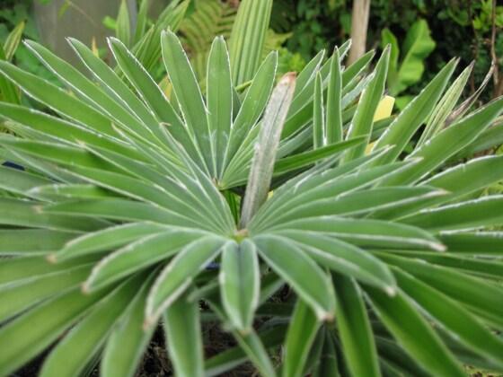 Trachycarpus princeps