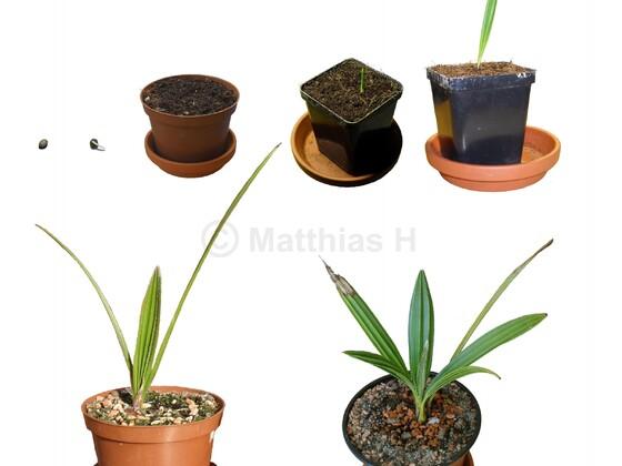 C. humilis - vom Samen bis heute