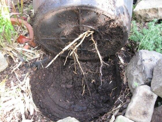 Washingtonia robusta, Wurzeln