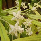 Baumwoll-Seidenpflanze / Asclepias fruticosa