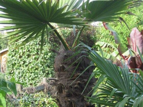 Trachytonia robusta