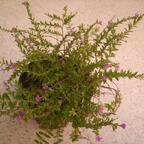 Japanische Scheinmyrthe - Cuphea hyssopifolia
