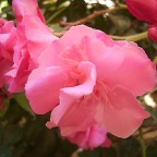 Panaschierter Oleander - Nerium oleander 'Variegata'