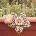 Ordensstern - Orbea variegata