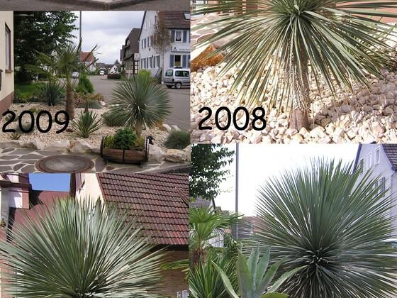 Yucca rostrata Wachstumsvergleich