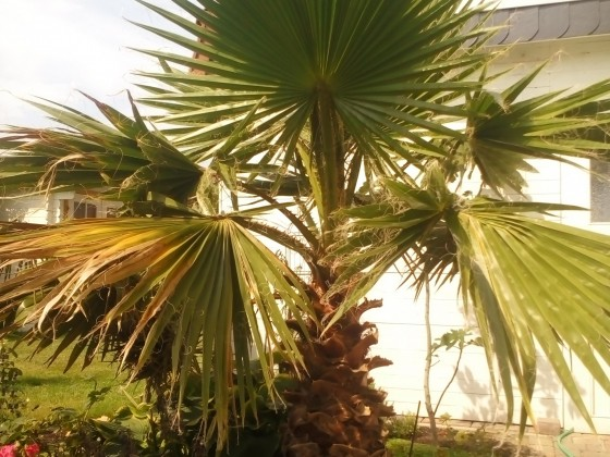 Washingtonia am 21.07.2016