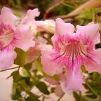 Rosa Trompetenwein - Podranea ricasoliana