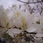 Orchideenbaum - Bauhinia alba