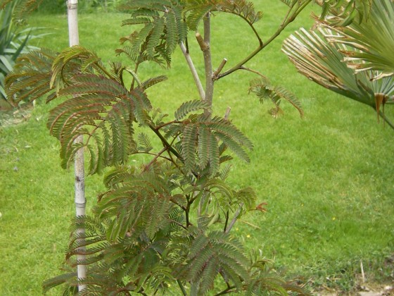 "Albizia jul. ""Summer Chocolate"""