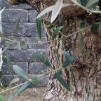 Mein alter Olivenbaum (2015 - 03)