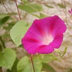 Prunkwinde - Ipomoea purpurea