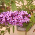 Sommerflieder, Schmetterlingsflieder - Buddleya davidii