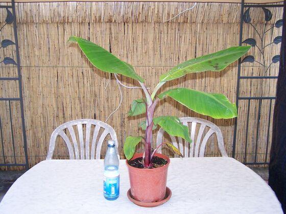 M. sumatrane zebrina ganz 28.08.2010