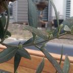 Mein alter Olivenbaum (2015 - 05)