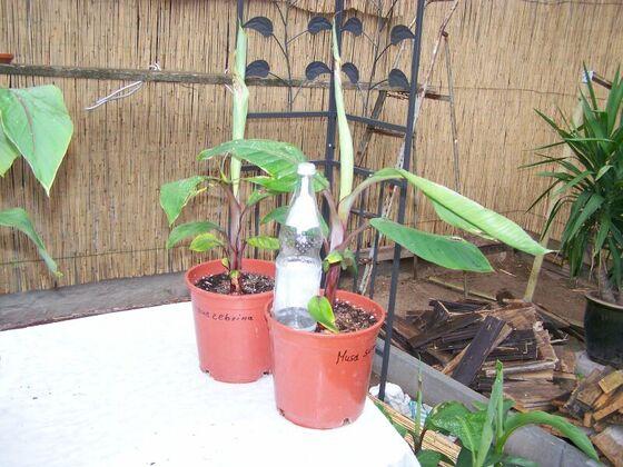 M. sumatrane zebrina 01.08.2010