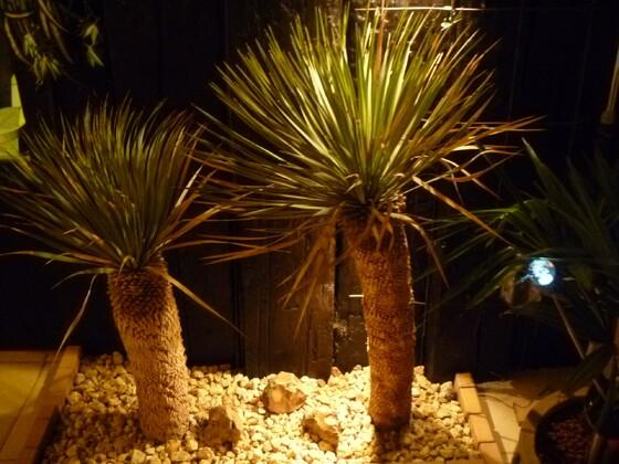 Yuccas 014