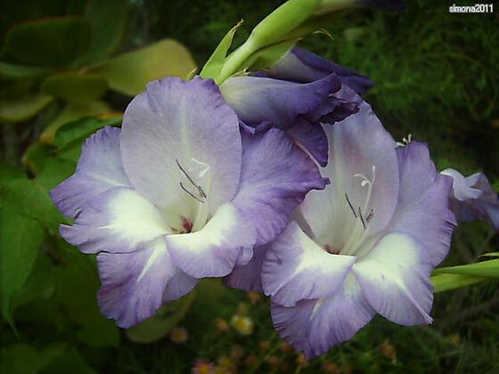 Gladiolen (Gladiolus) - Schwertblume